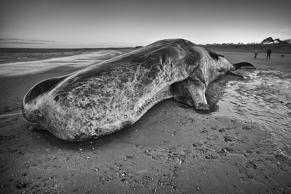Sperm Whale bull washes up on Norfolk Coast